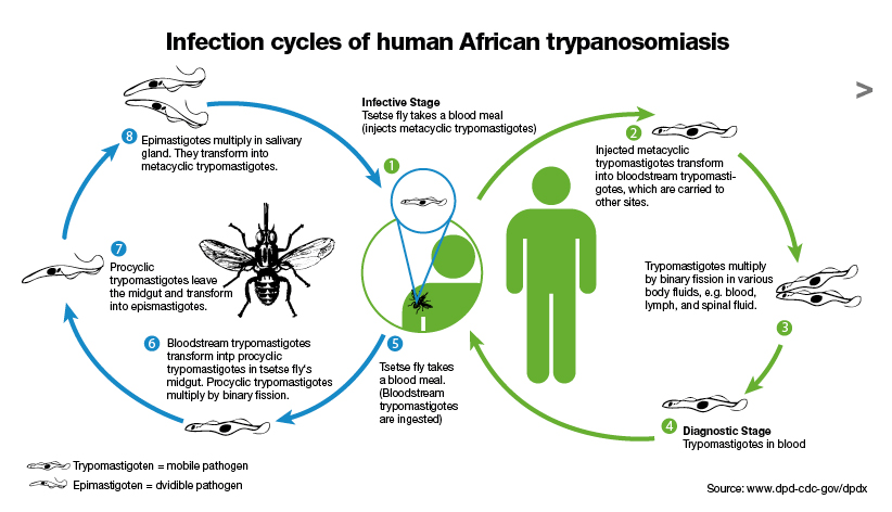 Image of how sleeping sickness is transmitted and how it evolves.