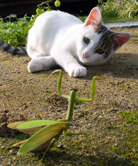 Praying mantis vs cat