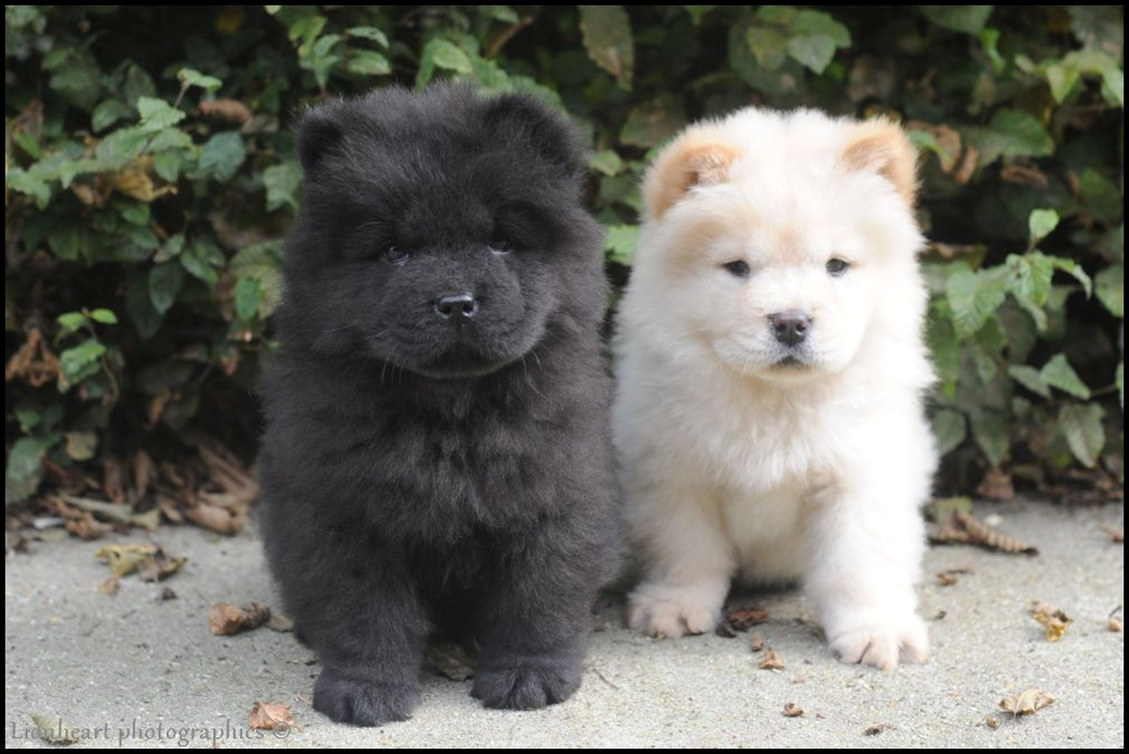 Chow Chow Puppies Cmmb