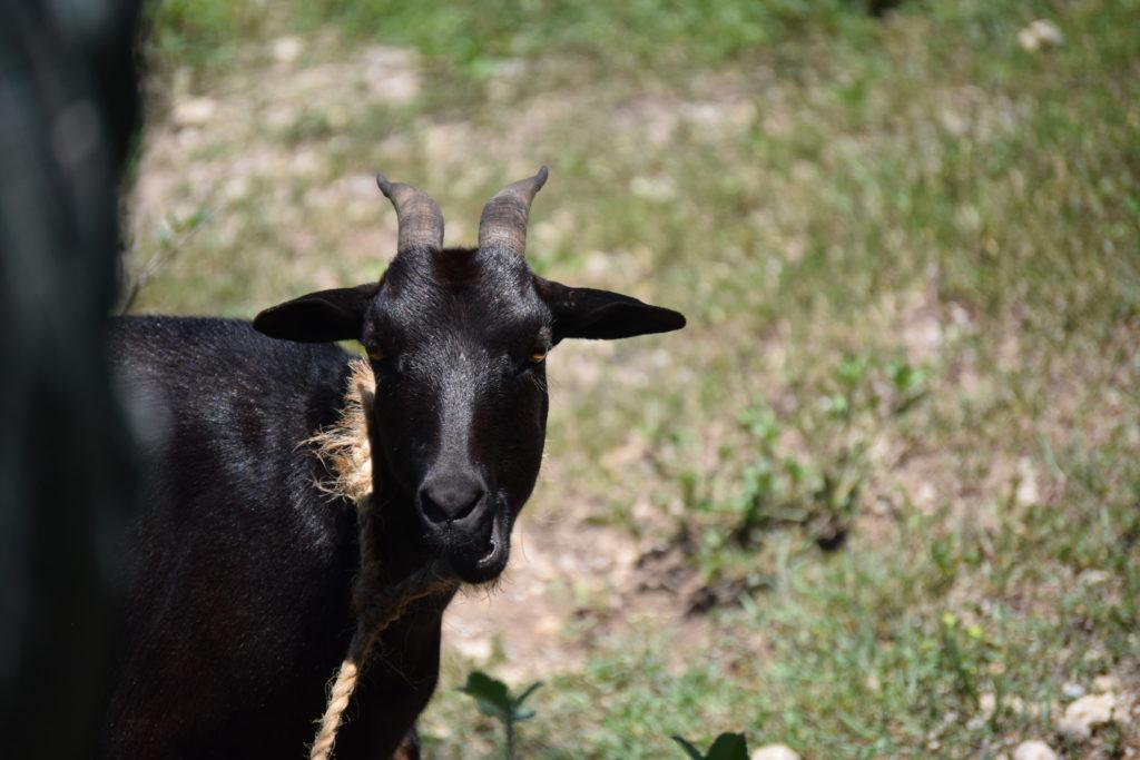 Give a goat and help a family