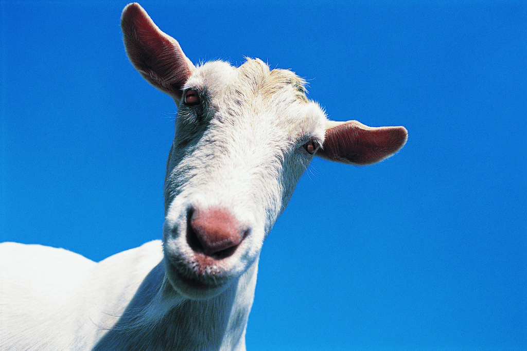 A white goat in front of a clear blue sky