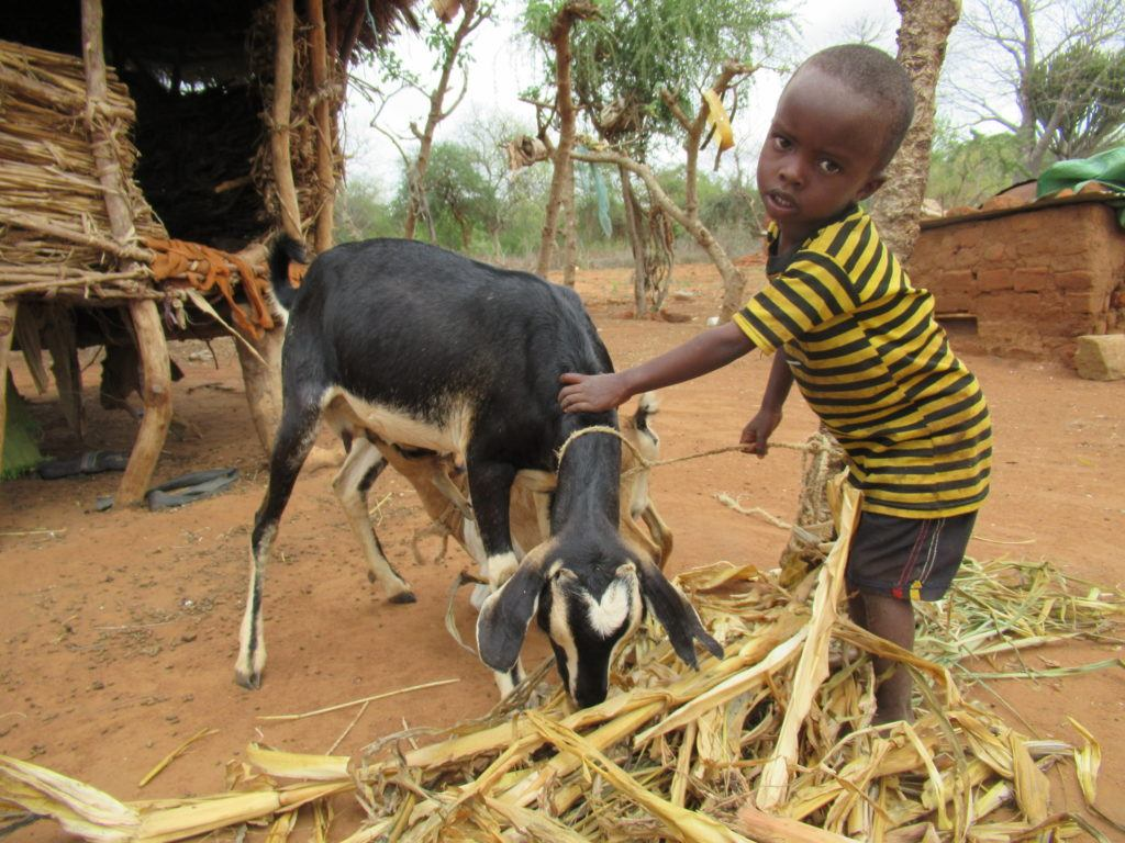 A small child taking care of his goat. He wears a striped shirt