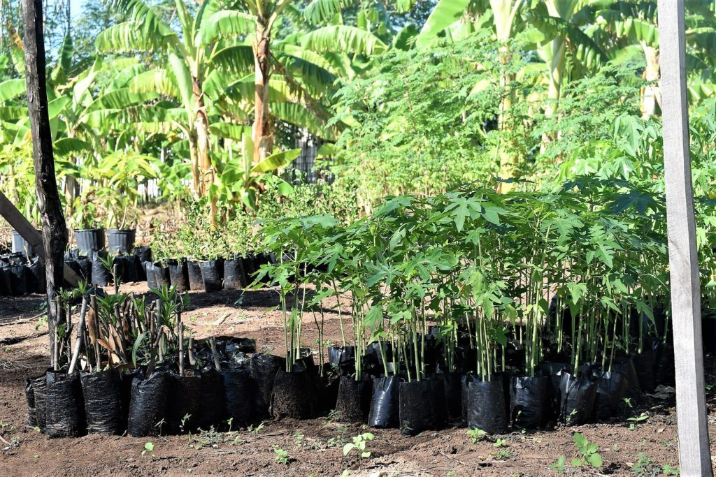 cmmb's agronomy project in Haiti - small trees