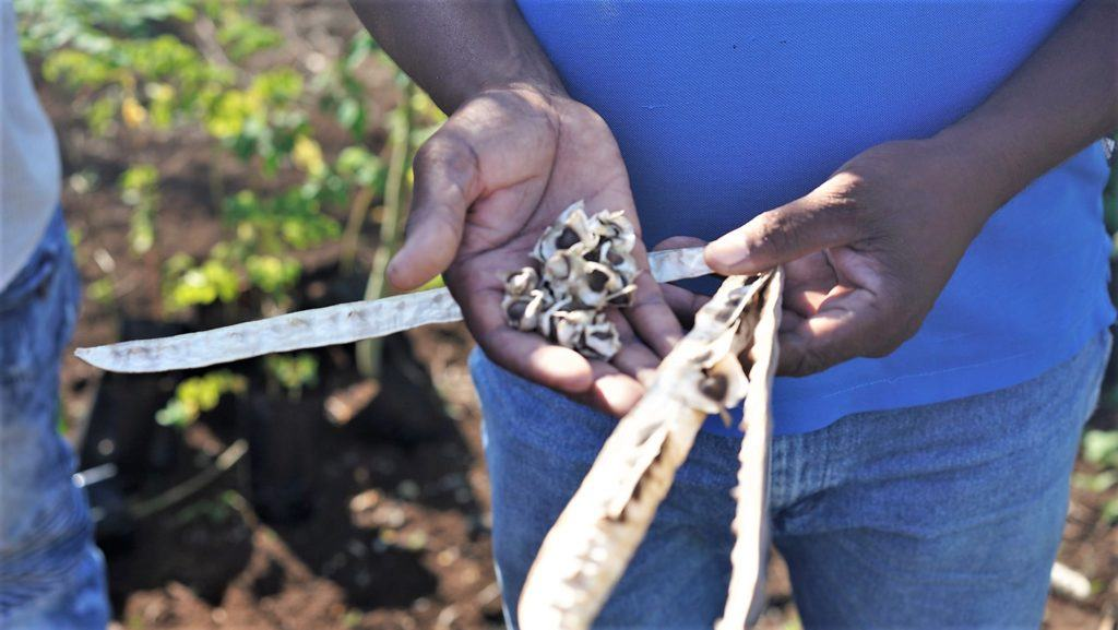 cmmb's agronomy project in Haiti - moringa seeds