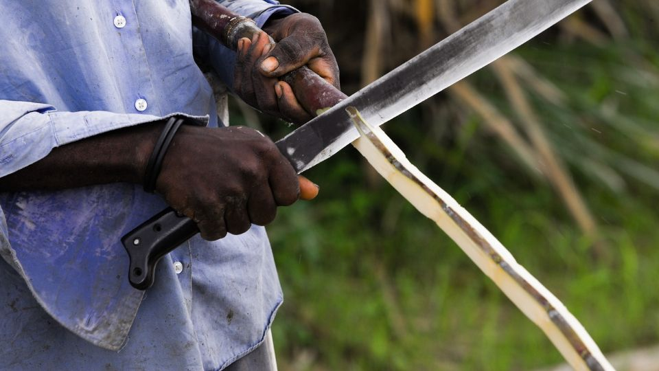 haiti sugar cane field worker