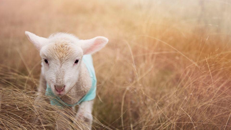 weekly reflection - lamb of god